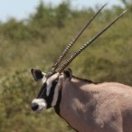 Oryx15